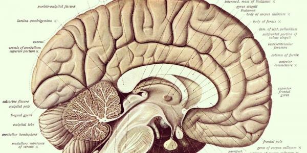 Comment la caféine agit sur le cerveau ?